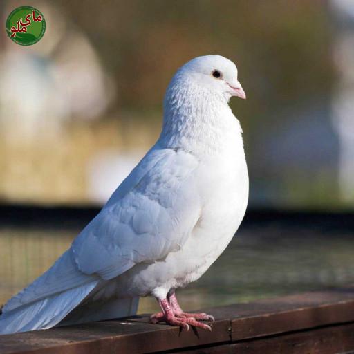 نام من کبوتر است، پرنده ای زیبا و با رنگ های سفید، قهوه ای و سرمه ای. من را معمولا در آسمان در حال پرواز پیدا می کنید. شاید همین الان که شما این مطلب را می خوانید بالای سر شما در حال پرواز باشم. لطفاً در صورت مشاهده این پرنده، تصویری از آن را به همراه نام و نام خانوادگی، سن و شهر محل زندگی خود برای ما به آدرس info@yarpress.com ارسال نمایید.