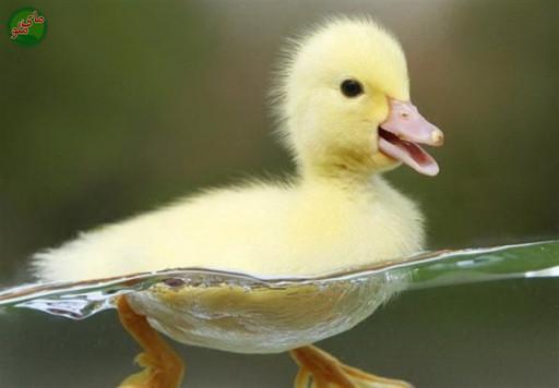 نام من مرغابی است، حیوانی زیبا و شناگری خوب. من نیاز به توجه و مراقبت بسیار دارم. من را در اطراف برکه ها، دریاچه ها و حوض ها پیدا میکنید. لطفاً در صورت مشاهده این پرنده، تصویری از آن را به همراه نام و نام خانوادگی، سن و شهر محل زندگی خود برای ما به آدرس info@yarpress.com ارسال نمایید.