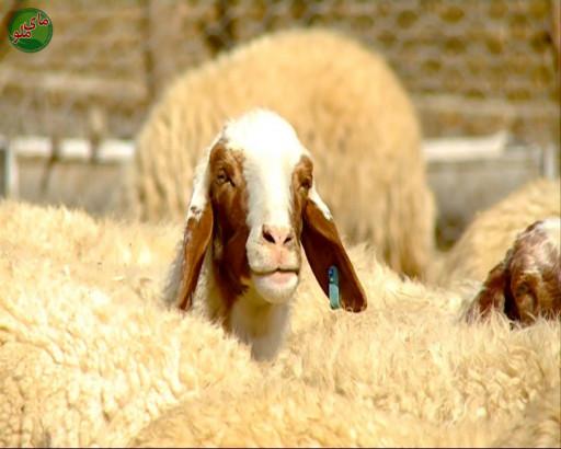 سلام! نام من گوسفند است، حیوانی پشمالو و زیبا. من را در مراتع و علف زار ها می یابید که در حال خوردن علف های تر و تازه هستم. من حیوان مظلوم و خجالتی هستم لطفاً مرا حمایت کنید. لطفاً در صورت مشاهده این حیوان، تصویری از آن را به همراه نام و نام خانوادگی، سن و شهر محل زندگی خود برای ما به آدرس info@yarpress.com ارسال نمایید.