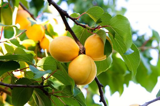 ما میوه های درخت زردآلو هستیم، درختی گرمسیری و حساس. درختان زرد آلو نیاز به مراقبت کافی در مقابل افت ها دارند و در صورتی که به نور، کود و آب کافی دسترسی داشته باشند، زردآلوهایی بسیار خوشمزه ای تولید می کنند. لطفاً در صورت مشاهده این گیاه، تصویری از آن را به همراه نام و نام خانوادگی، سن و شهر محل زندگی خود برای ما به آدرس info@yarpress.com ارسال نمایید.