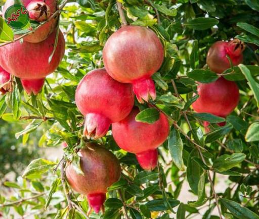 ما میوه های درخت انار هستیم، درختی با برگ های ریز و ساقه های تیغ دار. درختان انار در صورتی که نور و آب کافی داشته باشند، انارهای درشت و سرخ رنگی را در پاییز به شما می دهند. این درختان را معمولا در مناطق معتدل و مرطوب می یابید. لطفاً در صورت مشاهده این گیاه، تصویری از آن را به همراه نام و نام خانوادگی، سن و شهر محل زندگی خود برای ما به آدرس info@yarpress.com ارسال نمایید.