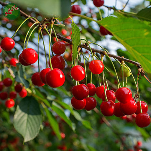 ما میوه های درخت آلبالو هستیم، میوه هایی ترش و خوشمزه که دل هر کسی را آب می اندازد. لواشت آلبالو اگر شنیده اید، حتی با ما آشنا هستید. درختان آلبالو در مناطق خنک و بارانی به خوبی رشد می کنند. لطفاً در صورت مشاهده این گیاه، تصویری از آن را به همراه نام و نام خانوادگی، سن و شهر محل زندگی خود برای ما به آدرس info@yarpress.com ارسال نمایید.