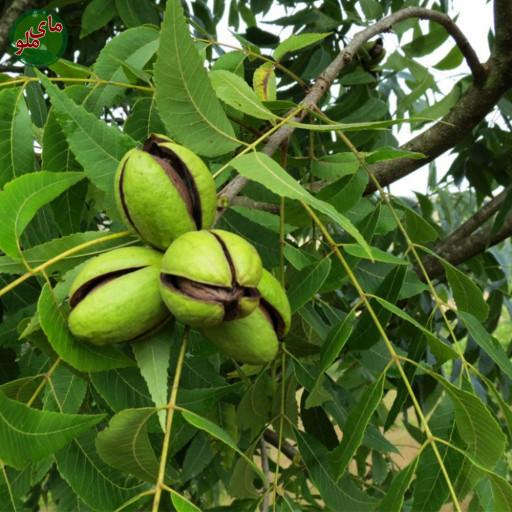 ما میوه های درخت گردو هستیم، درختی با چوب بسیار محکم که در مناطق کوهستانی و خنک به وفور یافت می شود. درختان گردو بسیار مقاوم هستند و برای رشد کافی نیاز به هوای خنک ولی تابستان های پر نور و گرم داریم. لطفاً در صورت مشاهده این گیاه، تصویری از آن را به همراه نام و نام خانوادگی، سن و شهر محل زندگی خود برای ما به آدرس info@yarpress.com ارسال نمایید.