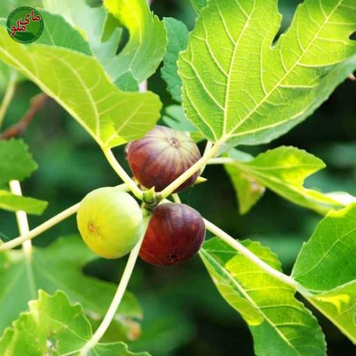 ما میوه های درخت انجیر هستیم، درختی که در مناطق گرم و مرطوب بسیار خوب رشد می کند و سرشار از میوه های درشت و شیرین انجیر می شود. ما نیاز به مراقبت کمی داریم ولی اگر به ما آب و کود کافی بدهید، غرق در گل های بهاری، انجیرهای خوشمزه و سایه ای دلنشین خواهیم بود. لطفاً در صورت مشاهده این گیاه، تصویری از آن را به همراه نام و نام خانوادگی، سن و شهر محل زندگی خود برای ما به آدرس info@yarpress.com ارسال نمایید.