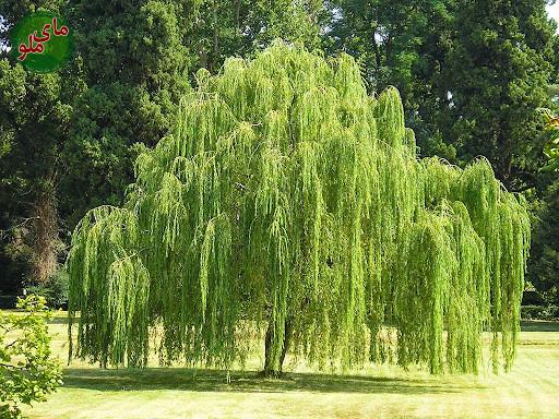 من درخت بید هستم، درختی نه چندان بلند با شاخه های افتاده . من کودکان را خیلی دوست دارم و دوست دارم کودکان هم از من مراقبت کنند. ما درختای بید دوست نداریم که شاخه هایمان را بکشند پس مراقب شاخه های ظریف من باشید. ممنونم بچه های دوست داشتنی. لطفاً در صورت مشاهده این گیاه، تصویری از آن را به همراه نام و نام خانوادگی، سن و شهر محل زندگی خود برای ما به آدرس info@yarpress.com ارسال نمایید.