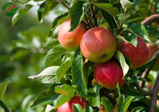 ما میوه های درخت سیب هستیم، درختی که در همه جای ایران یافت می شود. درختان سیب نیاز به نور و آب کافی و مراقبت در مقابل حشرات و آفت ها و بخصوص حفاظت در مقابل سرما در زمستان ها دارند تا سیب هایی سرخ و خوشمزه به شما بدهند. لطفاً در صورت مشاهده این گیاه، تصویری از آن را به همراه نام و نام خانوادگی، سن و شهر محل زندگی خود برای ما به آدرس info@yarpress.com ارسال نمایید.