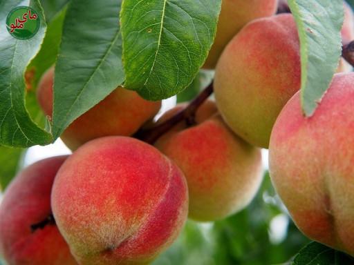 ما میوه های گیاه هلو هستیم، میوه هایی پر آب و بسیار خوشمزه. درختان هلو در مناطق گرم و آفتابی و پر آب به خوبی رشد می کنند و هلوهایی درشت و خوشمزه تولید می کنند. لطفاً در صورت مشاهده این گیاه، تصویری از آن را به همراه نام و نام خانوادگی، سن و شهر محل زندگی خود برای ما به آدرس info@yarpress.com ارسال نمایید.
