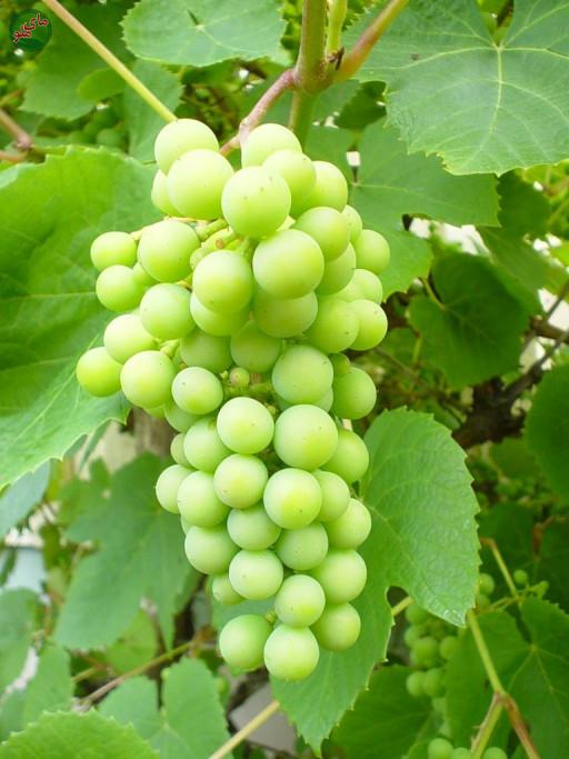 ما میوه های شیرین و لذیذ درخت انگور (مو) هستیم. درختان انگور در مناطق گرم و آفتابی در صورتی که به نور کافی دسترسی داشته باشند، بسیار خوب رشد کرده و انگورهای شیرین و خوشمزه ای تولید می کنند. لطفاً در صورت مشاهده این گیاه، تصویری از آن را به همراه نام و نام خانوادگی، سن و شهر محل زندگی خود برای ما به آدرس info@yarpress.com ارسال نمایید.
