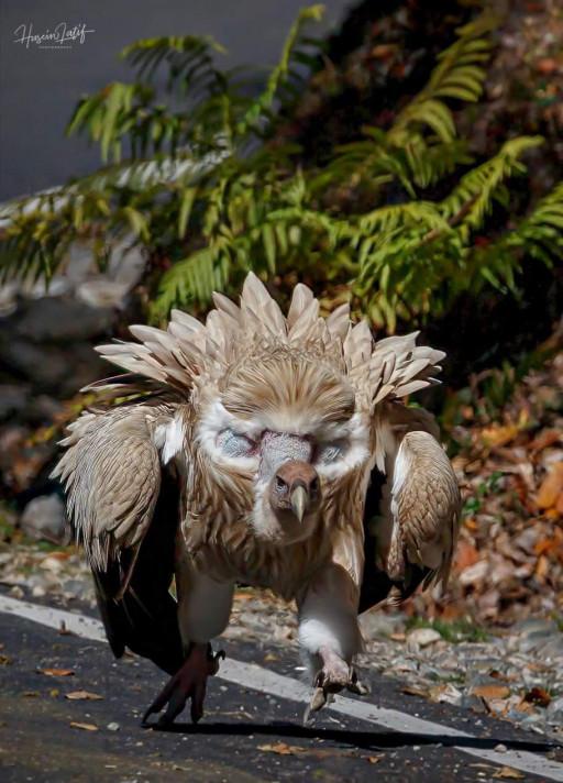 کرکس عظیم الجثه هیمالیایی، بزرگترین پرنده هیمالیا