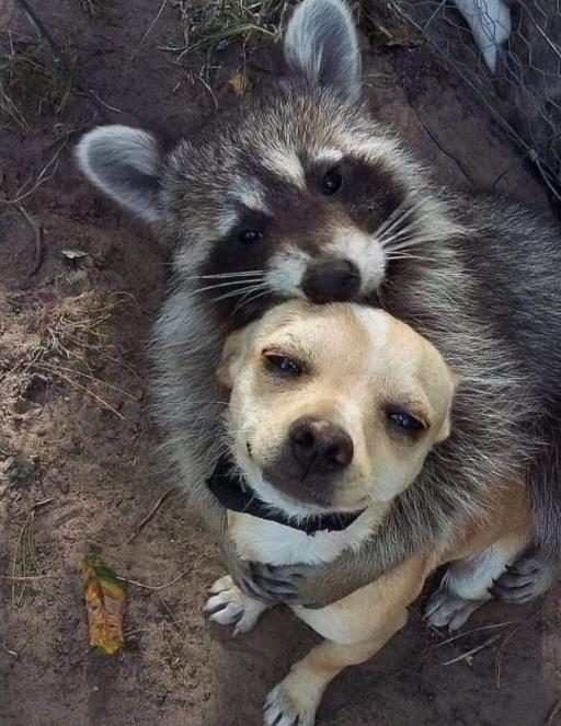 دوستی راکون و سگ