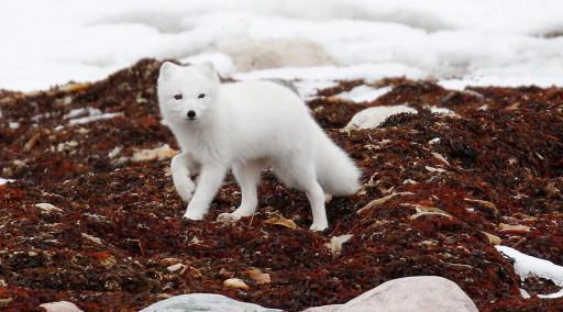 روباه قطبی (ARCTIC FOX) - حیوانات در حال انقراض قطبی منبع تصاویر: World Wildlife Fund https://www.wwf.org.uk/