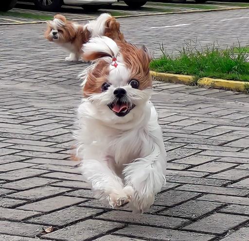 سگ نژاد شیتزو در حال جست و خیز