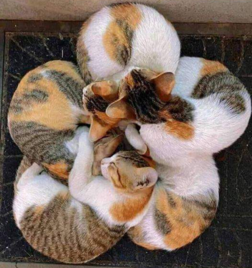 گربه های نژاد کالیکو در کنار هم