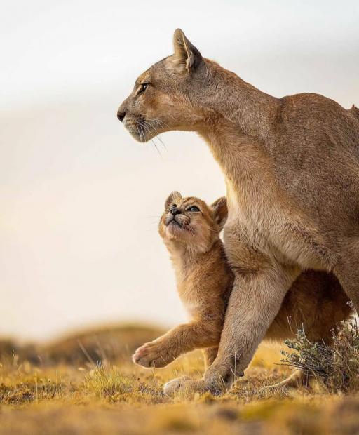 توله شیر به مادرش افتخار میکند