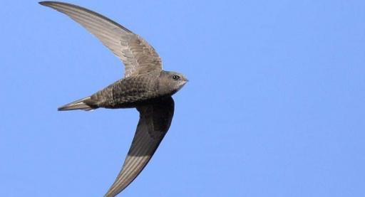 این پرنده بادخورک نام دارد و می تواند با سرعت 830 کیلومتر در روز مسافت 7500 کیلومتری کوچ را بی وقفه در 9 شبانه روز طی کند