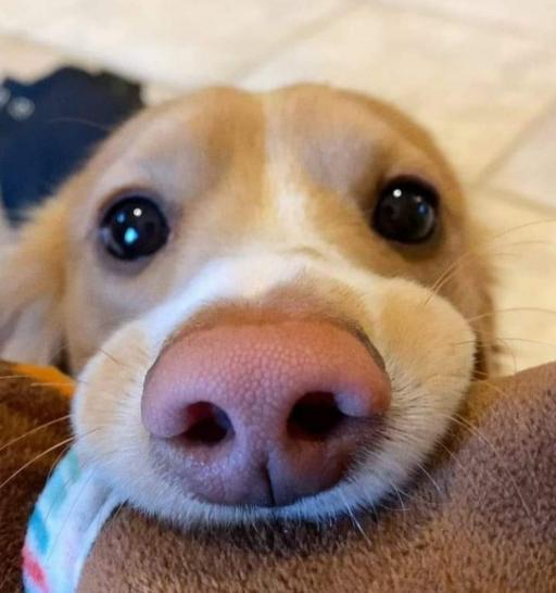 یافته های جدید نشان می دهند که چشمان سگ ها برای جلب توجه انسان ها تکامل پیدا کرده اند