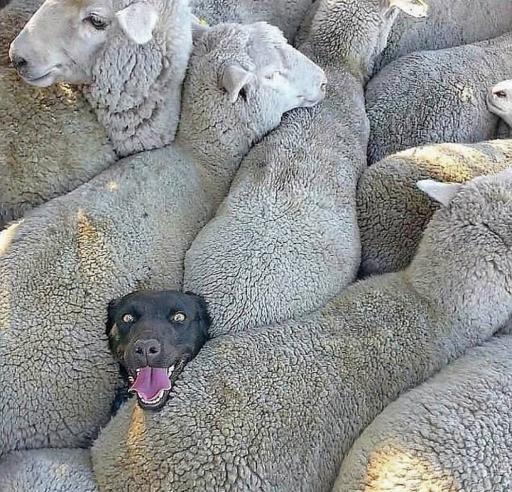 سگ گله جزیی از خانواده