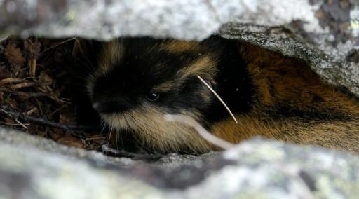 موش صحرایی قطب شمال (LEMMING) - حیوانات در حال انقراض قطبی منبع تصاویر: World Wildlife Fund https://www.wwf.org.uk/