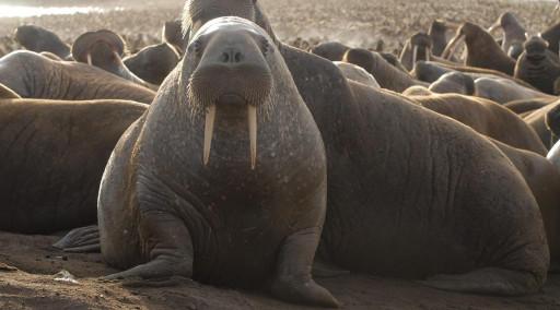 والروس (گونه ای میان شیر دریایی و فک) - حیوانات در حال انقراض قطبی منبع تصاویر: World Wildlife Fund https://www.wwf.org.uk/